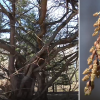 Pražydo rečiausias medis Lietuvoje