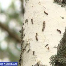 Neringos miškus puola naktinių drugių verpikų vikšrai