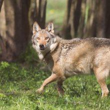 Už vilkų padarytą žalą – kompensacijos
