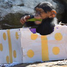 Norvegijoje apnuodyta įžymi šimpanzė
