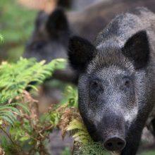 Kiaulių maru užsikrėtusių šernų nemažėja