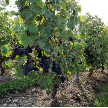 Vynuogių augintojai siekia, kad Lietuva patektų į šalių, gaminančių vyną, sąrašą