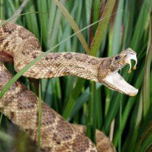 Australui nuodingos gyvatės įkirto dukart per tris dienas