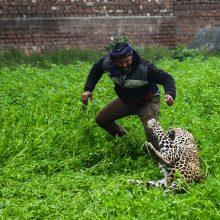 Kilo panika dėl leopardo: gatvėmis klaidžiojantis gyvūnas puldinėjo miestiečius