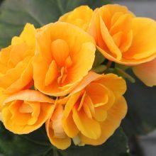 Viena iš populiariausių begonijų – begonija elatior.