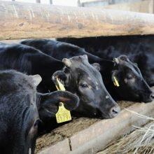 ES valstybės narės skuba sunaikinti iš Lenkijos importuotą nesveikų karvių mėsą
