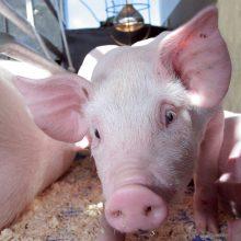 Afrikinis kiaulių maras toliau plinta: nustatyti dar du židiniai