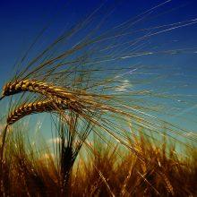 """Žemės ūkio ministerija išparduos """"Jonavos grūdų"""" derlių"""