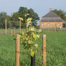 Džiugi žinia: šimtmečio ąžuolų giraitė Rumšiškėse sėkmingai prigijo