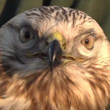 Į Lietuvą atklydo retas šiaurės paukštis