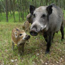 Kiaulių maro grėsmė: Lenkija atsitvers nuo Ukrainos ir Baltarusijos