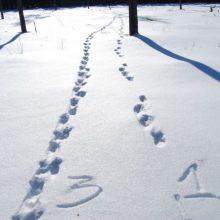 Sniege – žvėrių palikti pėdsakai
