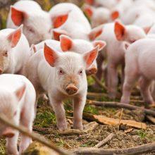 Atsisakantiems auginti kiaules bus siūlomos išmokos