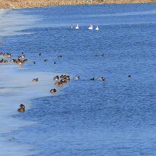 Pamaryje – tūkstantiniai būriai iš šiltųjų kraštų grįžusių paukščių