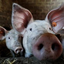 Veterinarai: Belgijos įtarimai apie kiaulių marą iš Baltijos šalių – tik hipotezė