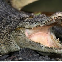 Šiaurės Australijoje krokodilas mirtinai sužalojo gamtos prižiūrėtoją