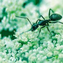 Gamtininkas: skruzdėlėms, kaip ir žmonėms, būdinga rūpintis artimaisiais