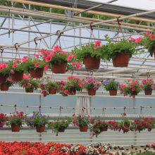 Svyrančios vienmetės vasaros gėlės: kokie augalai yra šio sezono pažiba?