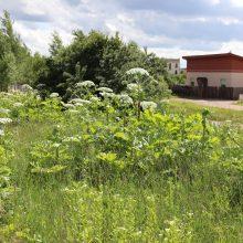 Vilnius džiaugiasi sėkminga kova su pavojingais Sosnovskio barščiais