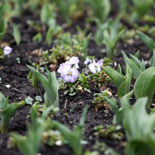 Balandžio 18 - oji – Klaipėdos diena  © Vytauto Petriko nuotr.