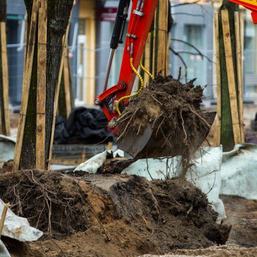 Laisvės alėjoje genimos liepų šaknys  © Laimio Steponavičiaus nuotr.