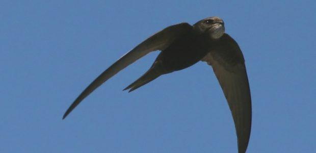 Kai kurie paukščiai danguje praleidžia 95 procentus savo gyvenimo