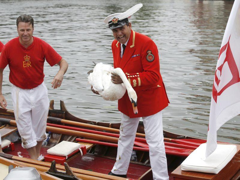 Karališkoji tradicija – gulbių Temzės upėje skaičiavimas