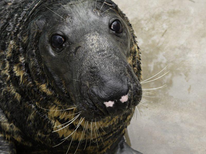 Specialistai aiškinasi, kodėl Baltijos jūroje žūsta tiek daug pilkųjų ruonių