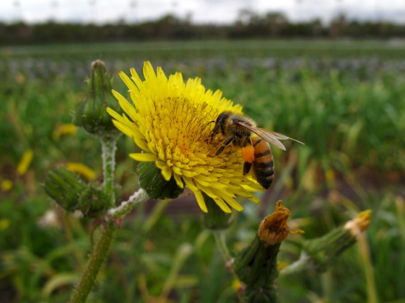 ES teismas paliko galioti suvaržymus bites žudantiems pesticidams