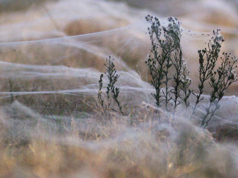Kodėl JAV karinės oro pajėgos staiga susidomėjo voratinkliais?