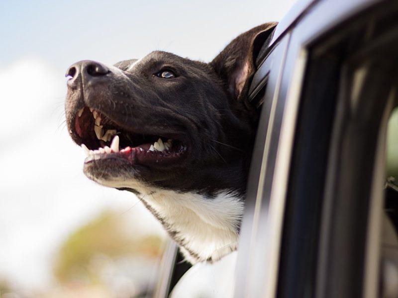 Penkios minutės įkaitusiame automobilyje šuniui gali būti pražūtingos