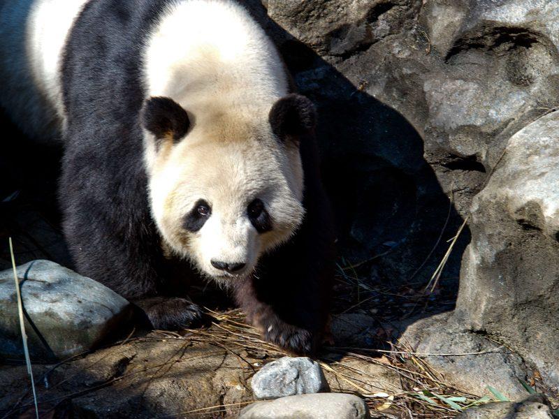 Edinburgo zoologijos sodo panda pagaliau turės jauniklį
