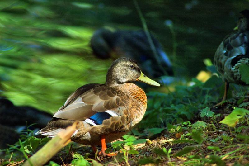 Ančių veisimosi sezonas šiemet ilgesnis: medžioklė vėlinama