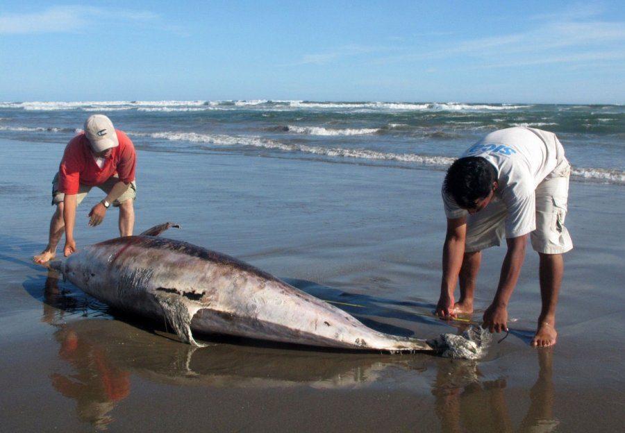 Kas kaltas dėl Atlante gaištančių delfinų - teršalai ar plintanti epidemija?