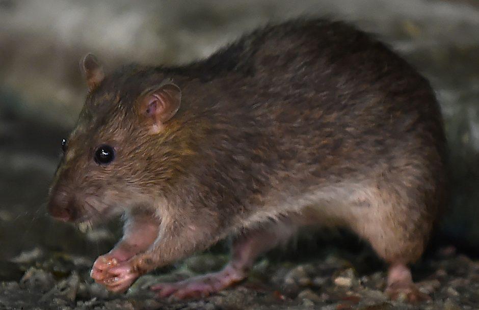 Žiurkės bibliotekoje sunaikino apie 8 tūkst. knygų
