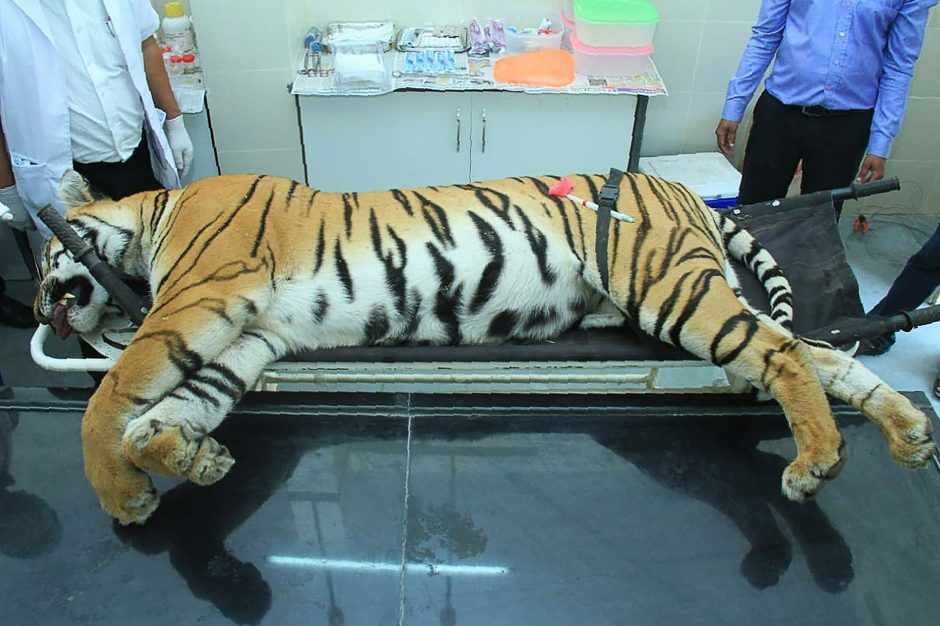 Kaimiečiai traktoriumi suvažinėjo tigrę