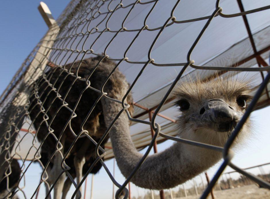 Neįprastas prašymas: politikas iš zoologijos sodo norėjo pasiskolinti strutį