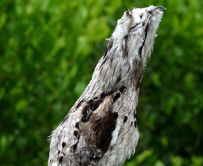 Potoo: Amazonės paukščiai, tobulai vaidinantys medį