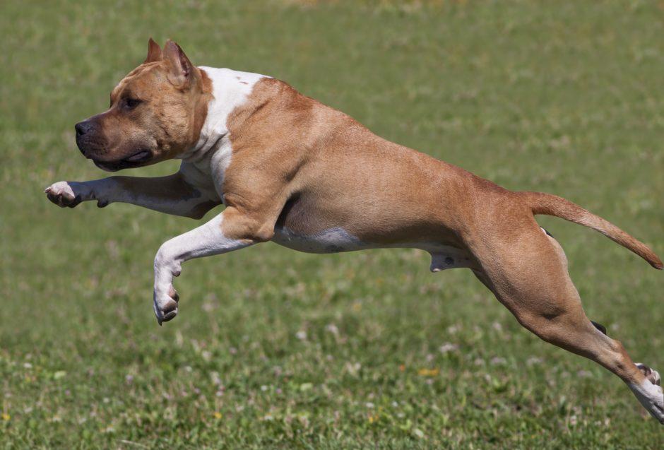 Klaipėdoje bus konfiskuotas pirmasis pavojingas šuo