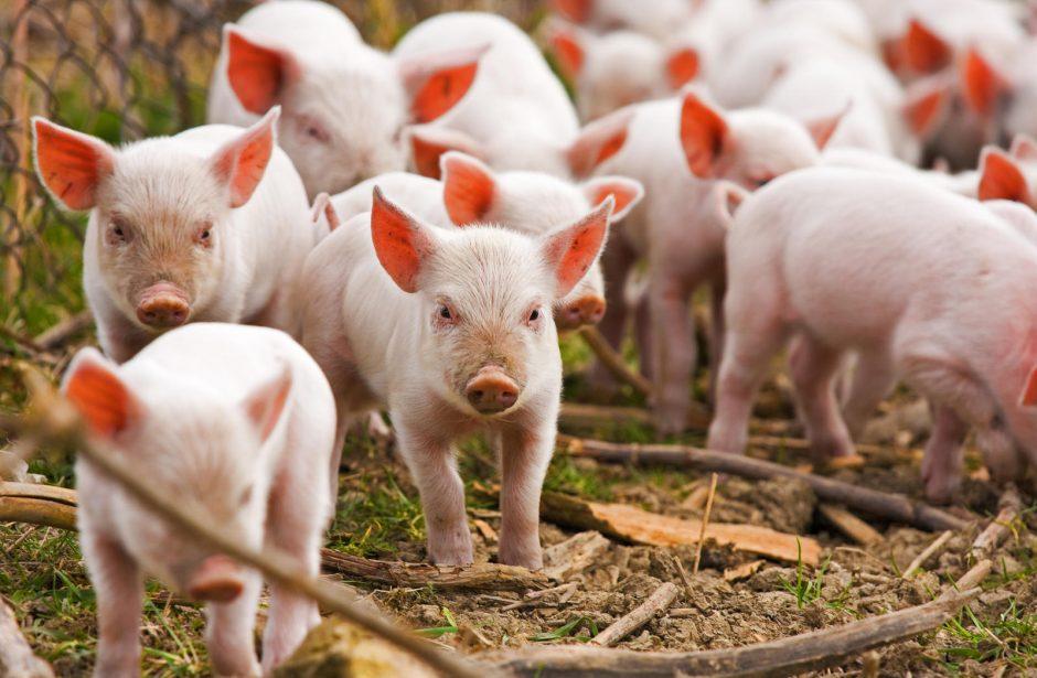 Netoli Lietuvos sienos – afrikinio kiaulių maro protrūkis