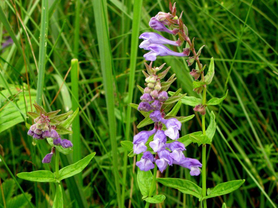 Krekenavos regioniniame parke rastas itin retas augalas