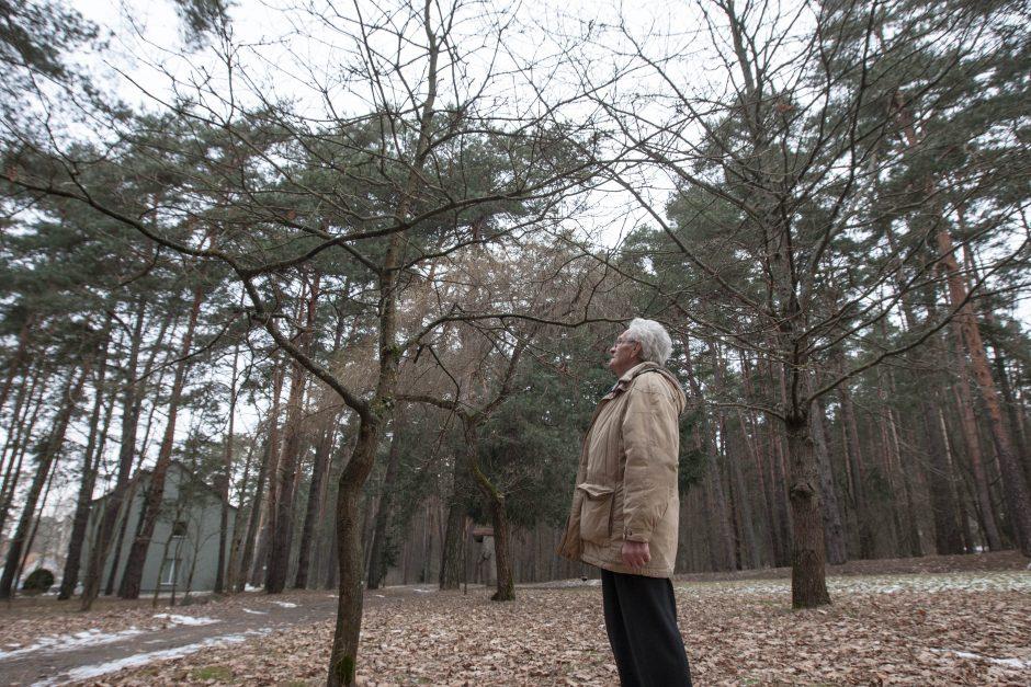 Kulautuvoje veši Vasario 16-ąją sodinti ąžuolai