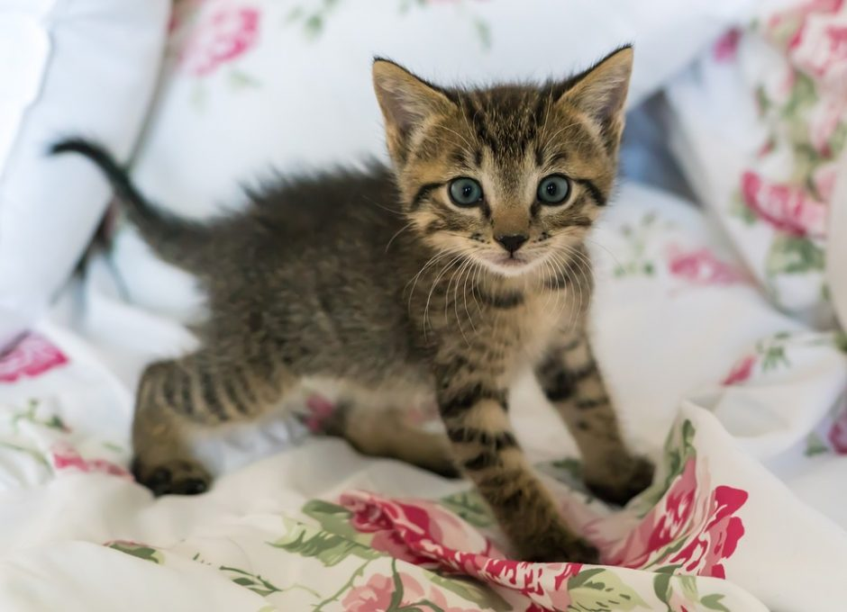 Kačiukas namuose: kaip rūpestingai priimti naują gyventoją?