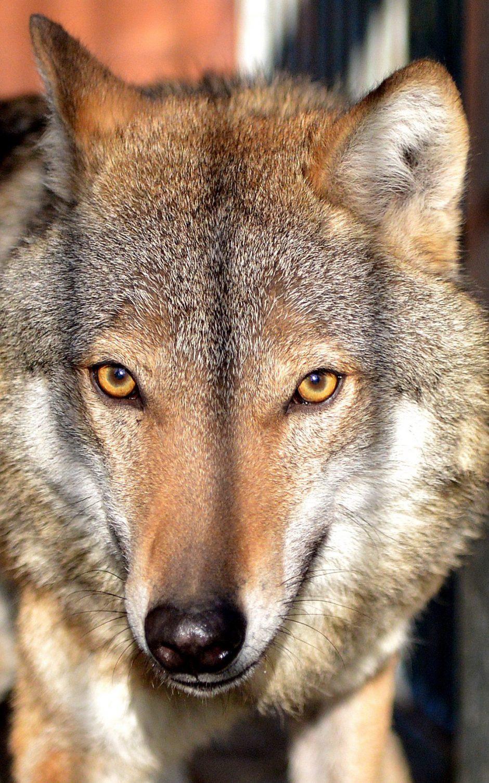 """""""Baltijos vilkas"""": dvigubai didesnis vilkų medžioklės limitas avių neišgelbės"""