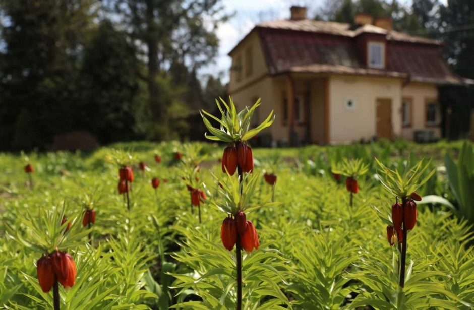 Obelynėje pražydo T. Ivanausko sodinta Obelis Karalienė