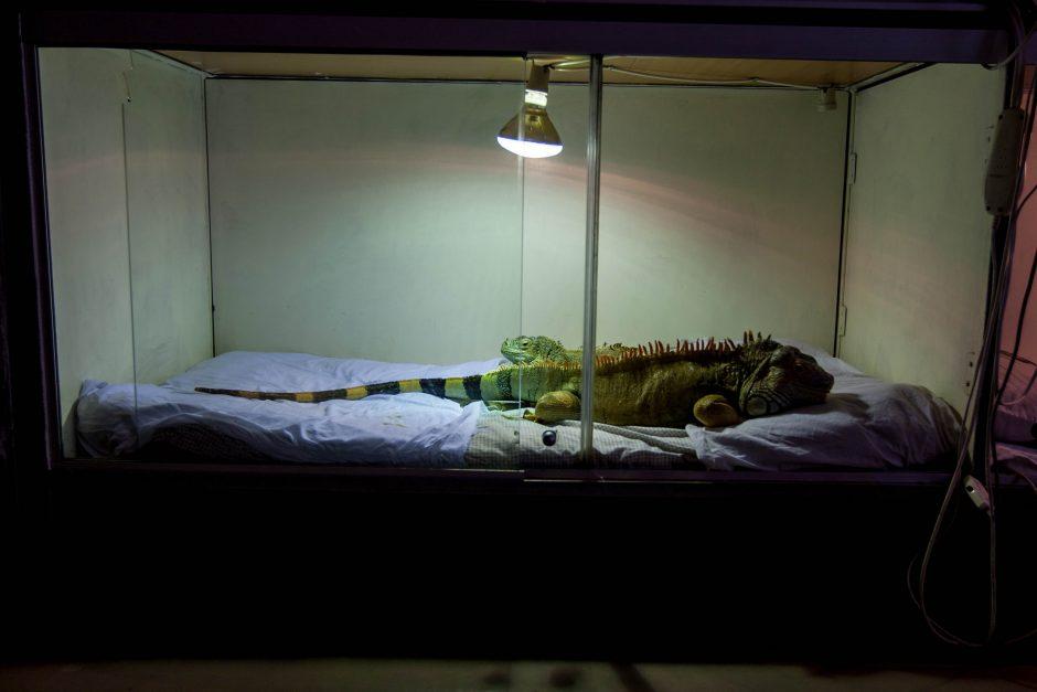 """""""Driežo namų"""" šeimininkė miega su savo iguanomis"""