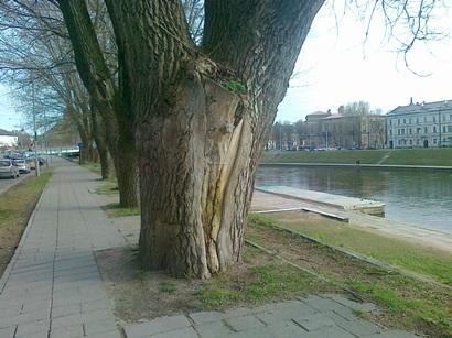 Žvejų gatvėje bus kertami pavojų keliantys medžiai, keisis eismas