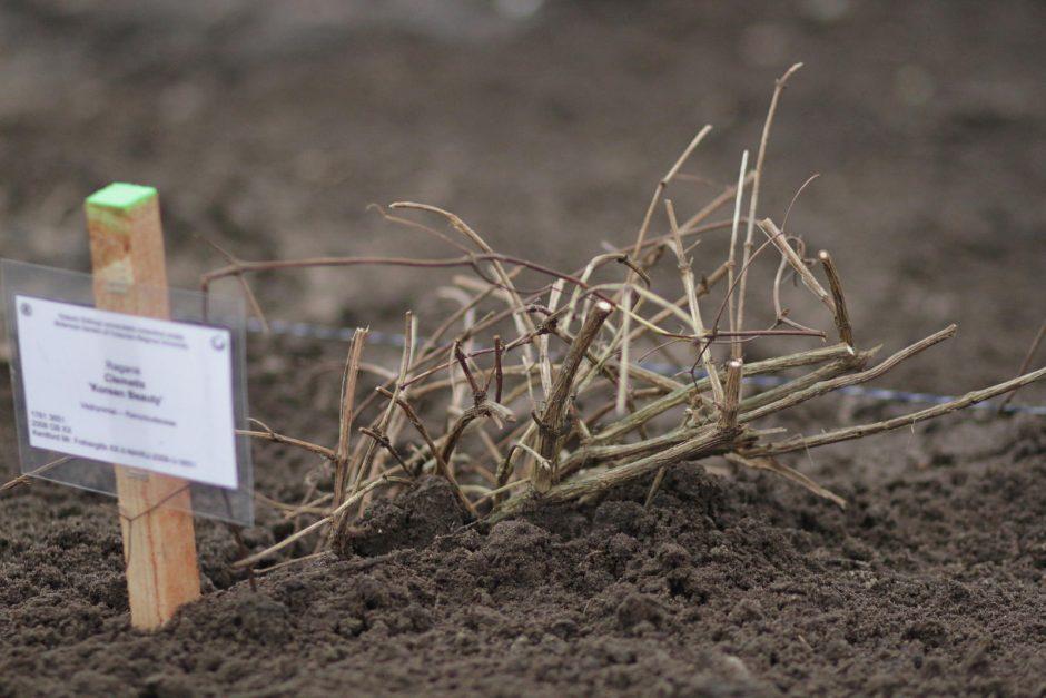 Kauno botanikos sode kuriama įspūdinga raganių kolekcija