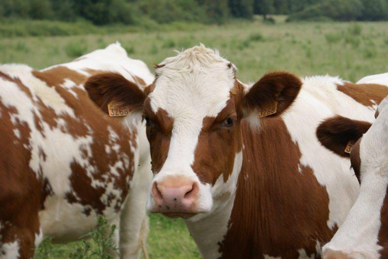 Amerikietis išmokė robotus melžti karves