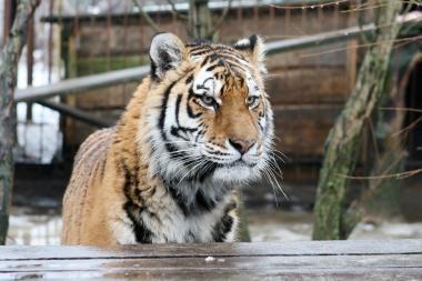 Indijoje tigras žmogėdra sudraskė per 12 dienų keturis valstiečius